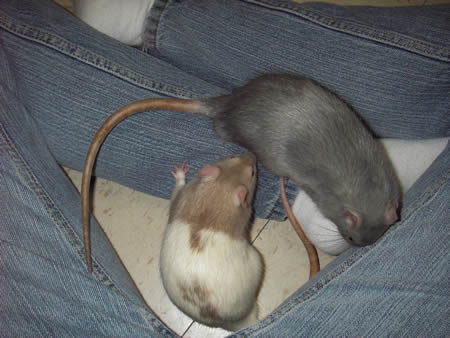 Lap Rat Picture