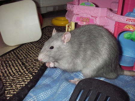 Rat grooming