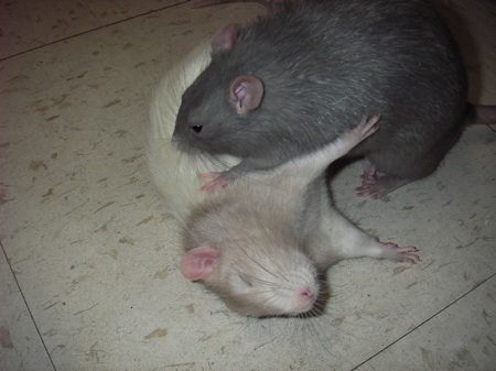 Pwned rat